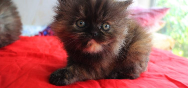 3 Colors-Female Persian cat for sale