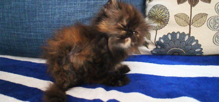 ขายแมวเปอร์เซีย ตัวเมีย สามสี เชียงใหม่