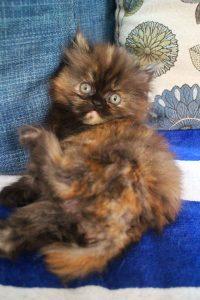 ขายลูกแมวเปอร์เซีย เพศเมีย สามสี เชียงใหม่