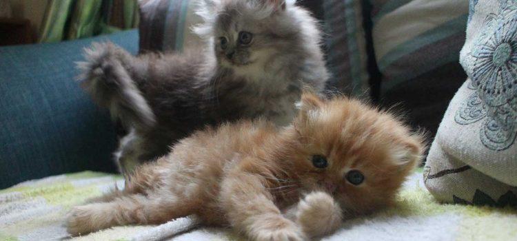 ขายแมวเปอร์เซียนำโชค รุ่นอุดมลาภ น้องออมเงิน และน้องออมทอง