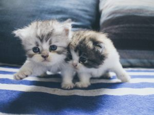 ขายแมวเปอร์เซียเชียงใหม่