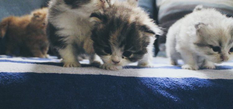 ขายแมวเปอร์เซีย เชียงใหม่