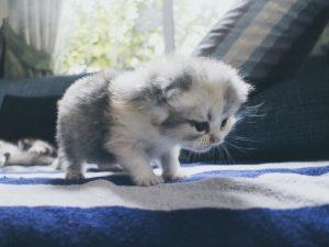 แมวเปอร์เซีย