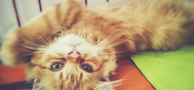 Persian Cat for Sales, Special offers in Chiang Mai • ร้าน